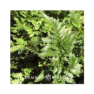 Rumohra adiantiformis (Aspidium capense)