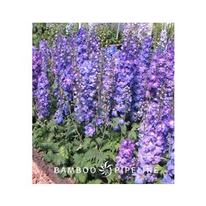 Delphinium elatum 'Blue'