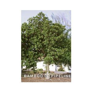 Elaeocarpus decipiens Column (E. sylvestris ellipticus)