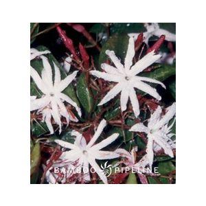 Jasminum nitidum (J. laurifolium n.)(J. magnificum)