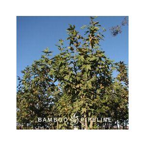 Platanus racemosa Low Branch