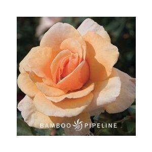 "Rosa 'Brandy' 36"" Patio Tree"