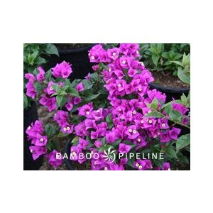 Bougainvillea 'Royal Purple' Staked