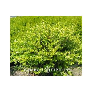 Buxus microphylla japonica 'Green Beauty' Globe