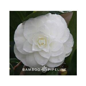 Camellia japonica 'Nuccio's Gem' - Monrovia