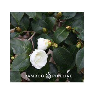 Camellia japonica 'Nuccio's Gem' Espalier
