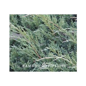 Juniperus chinensis 'Pfitzeriana Glauca'