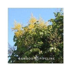 Koelreuteria bipinnata Standard (K. integrifoliola)