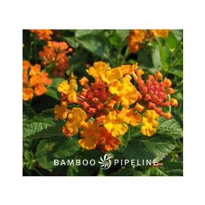 Lantana Spreading Hybrid 'Orange'