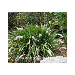 Ophiopogon jaburan (Liriope gigantea)