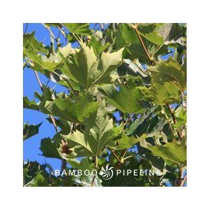 Platanus x acerifolia 'Bloodgood' Standard (P. x hispanica)
