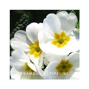 Primula x polyantha 'White'