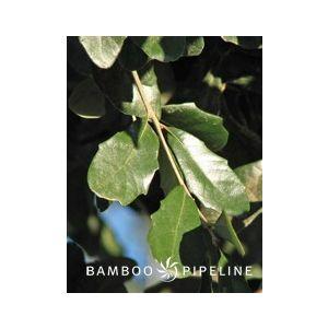 Quercus virginiana Standard
