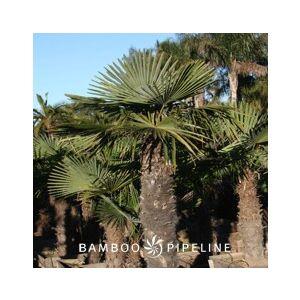 Trachycarpus fortunei (Chamaerops excelsa)