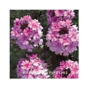 Verbena Tapien 'Pink'