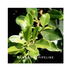 Ficus microcarpa nitida 'Green Gem' Column (F. retusa)