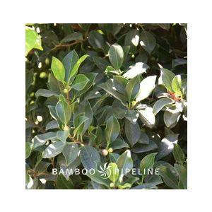 Ficus microcarpa nitida 'Green Gem' Standard (F. retusa)