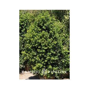 Ficus microcarpa nitida 'Green Gem' Multi (F. retusa)