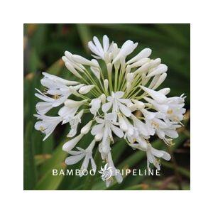 Agapanthus 'Rancho White' ( 'Dwarf White')('Rancho')