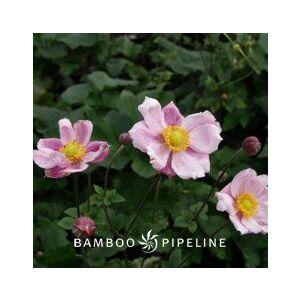 Anemone x hybrida 'Alice'