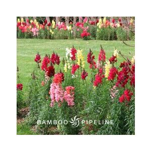 Antirrhinum majus Medium 'Red'