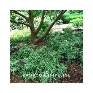 Athyrium nipponicum 'Pictum' (A. goeringianum)