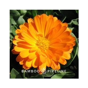 Calendula officinalis Dwarf 'Mixed Colors'