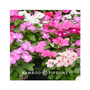 Catharanthus roseus 'Mixed Colors' (Vinca rosea)