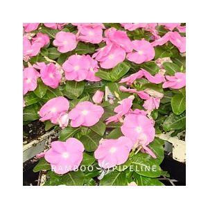 Catharanthus roseus 'Pink' (Vinca rosea)
