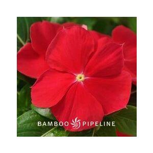 Catharanthus roseus 'Red' (Vinca rosea)