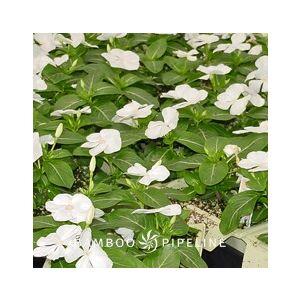 Catharanthus roseus 'White' (Vinca rosea)