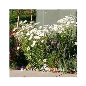 Chrysanthemum maximum (Leucanthemum m.)(C. superbum)(Leucanthemum superbum)