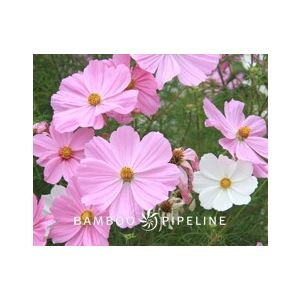 Cosmos Dwarf 'Mixed Colors'