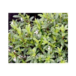 Cuphea hyssopifolia 'White'