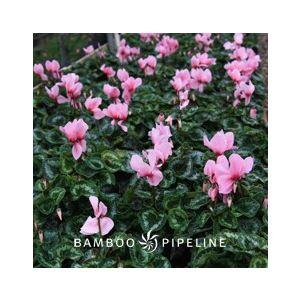 Cyclamen persicum 'Pink'