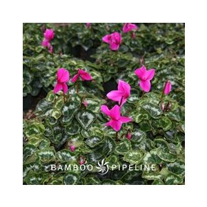 Cyclamen persicum 'Purple'