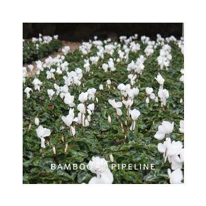 Cyclamen persicum 'White'