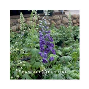Delphinium elatum 'Purple'