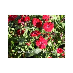 Dianthus chinensis 'Red'
