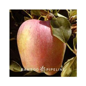 Fruit Tree Apple 'Anna' Espalier
