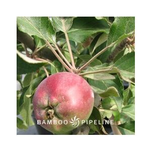 Fruit Tree Apple 'Fuji' Espalier