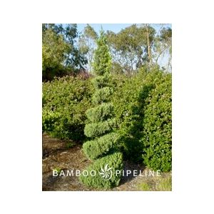 Juniperus chinensis 'Blue Point' Spiral
