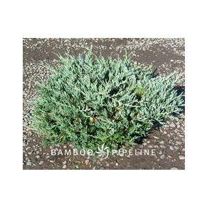 Juniperus horizontalis 'Bar Harbor'