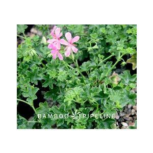 Pelargonium peltatum 'Balcan Lavender'