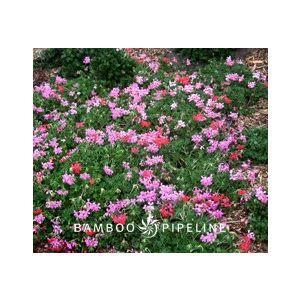 Pelargonium peltatum 'Balcan Mix'