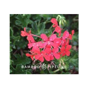 Pelargonium peltatum 'Balcan Red'