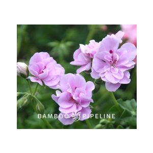 Pelargonium peltatum 'Lavender Double Flower'