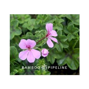 Pelargonium peltatum 'Lavender Single Flower'