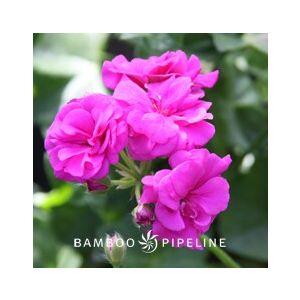 Pelargonium peltatum 'Purple Double Flower'