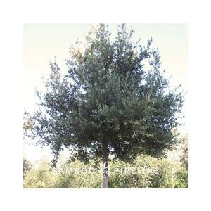 Quercus ilex Standard